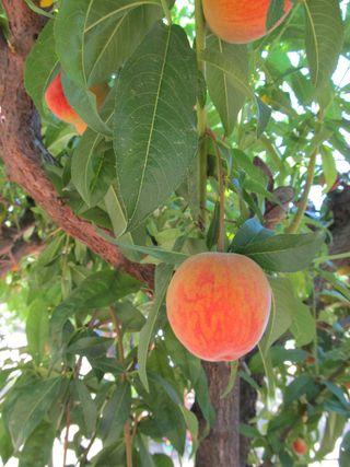 Peachy! 016s